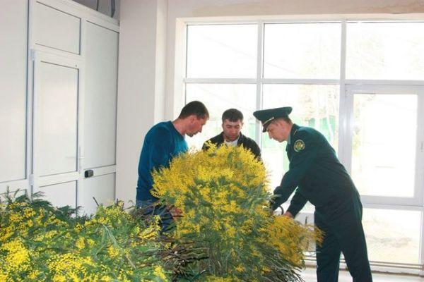 Из Абхазии в Россию уже ввезли более 5 тонн мимозы